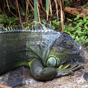 Lizard by Chirag Gupta - Animals Reptiles ( bangalore, lizard, banarghata, indian, poison, reptile )