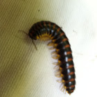 Yellow and Black Flat-backed Millipede