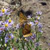 Callippe Silverspot Butterfly