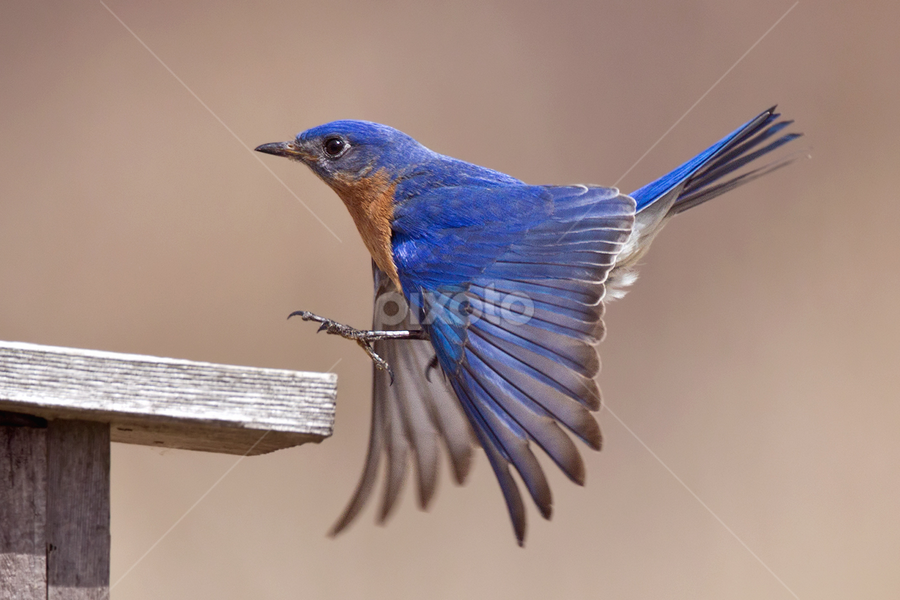 The Color Blue by Herb Houghton - Animals Birds ( bluebird, wild, nest box, herbhoughton.com, songbird, eastern bluebird )
