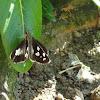 Indian Skipper Butterfly