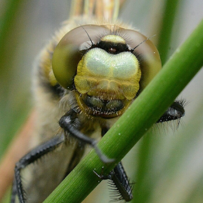 Dragonfly by Faillie Photos - Animals Insects & Spiders (  )