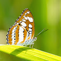 Common Sergeant Butterfly
