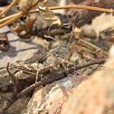 Hayden's Grasshopper