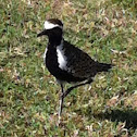Kōlea (Pacific Golden Plover)
