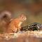 Red Squirrel 028-pixoto.jpg