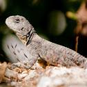 Stellion Lizard