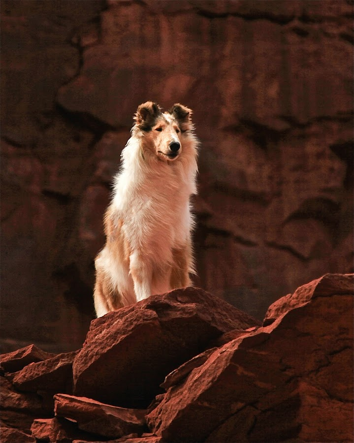 Moab guardian by Karin Bennett - Animals - Dogs Portraits ( moab, collie, 4 wheeling, rough collie )
