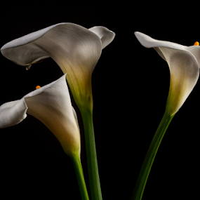alcatraz trio by Cristobal Garciaferro Rubio - Flowers Flower Arangements