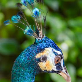 Peacock by Musaab Sami Al-Obeidy - Animals Birds (  )