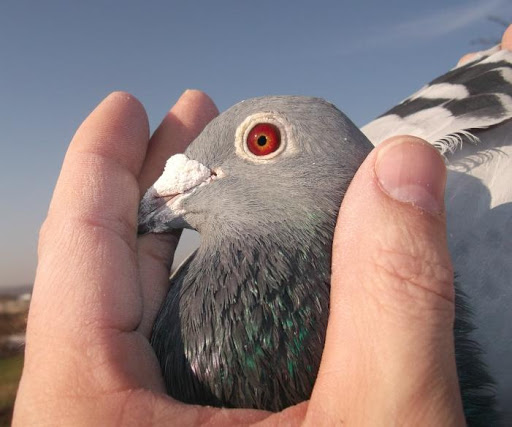 Racing Pigeons Master Five