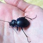 Woodland Ground Beetle