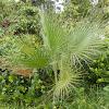 Dessert Fan Palm