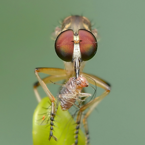 Robberfly With Prey by Niney Azman - Animals Insects & Spiders ( rf )