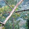 Black Checkered Woodpecker