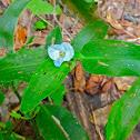 Virginia dayflower