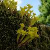 Sedum acre (Stonecrop or Wallpepper)