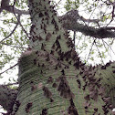 Silk floss tree