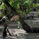 Swamp Fern