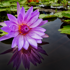 Violet pink by Charliemagne Unggay - Nature Up Close Flowers - 2011-2013 ( reflection, lily, nature, flower, natural background, , watter lilies )