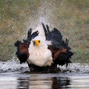 A.Flood_Chobe-Fish Eagle Bath.jpg