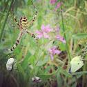 Wasp spider, Tygrzyk paskowany