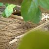 Cinnamon Gecko / Bark Gecko