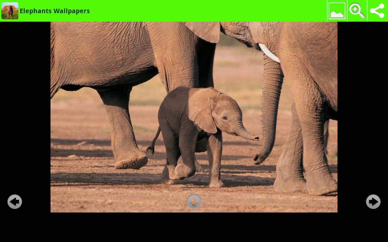 Elephants Wallpapers- screenshot