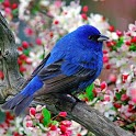 Singing Birds HD Wallpaper icon