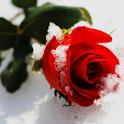 Frozen Rose icon