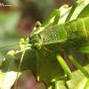 Green Katydid nymph