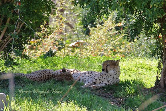 South African Cheetah Project Noah