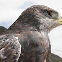 Juvenile Puna Hawk