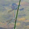 Lestidae(teichjungfern-damselfly)