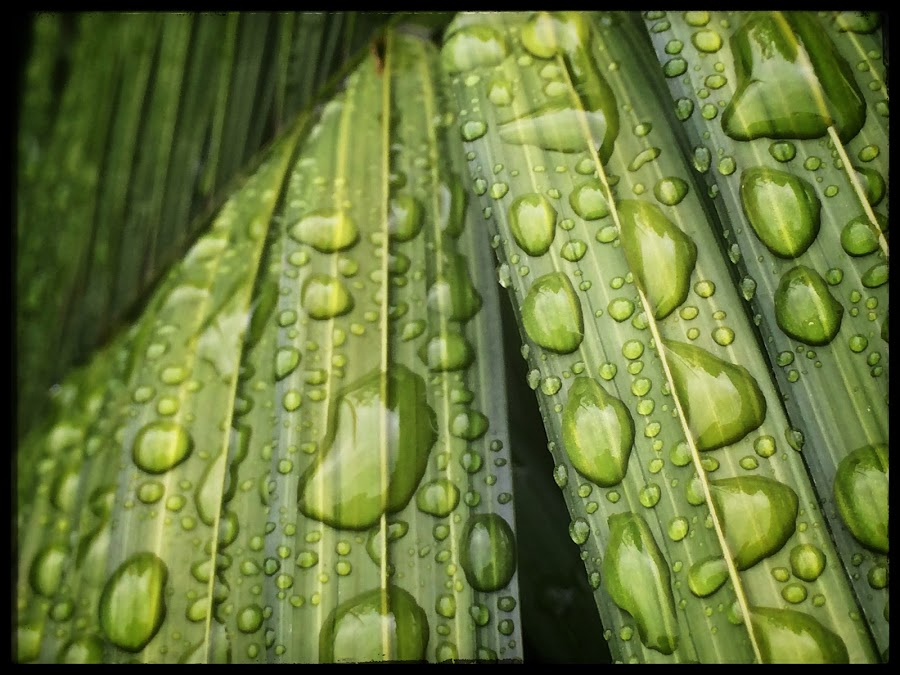 Water Droplets by Aaron Campbell - Instagram & Mobile iPhone ( plant, water, nature, iphone5s, closeup, droplets )