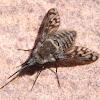 Conophorus pictipennis