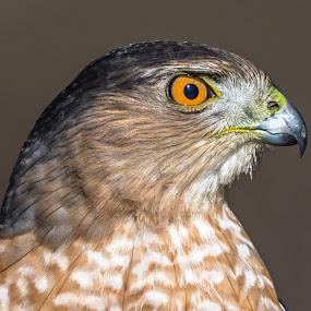 Coopers Hawk by Mike Watts - Animals Birds ( cooper hawk, hawk,  )