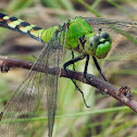Eastern Pondhawk dragonfly (female)