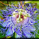 Passionvine plant