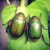 Green Chafer