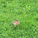 Pinzón vulgar / Common chaffinch