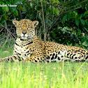 Onça-pintada (Jaguar)