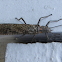 Giant Stonefly (aka Salmonfly)