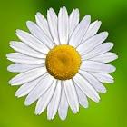 Daisy Wishes icon
