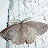 Geometrid Moth (Part 2)