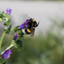 Caucasian Bee
