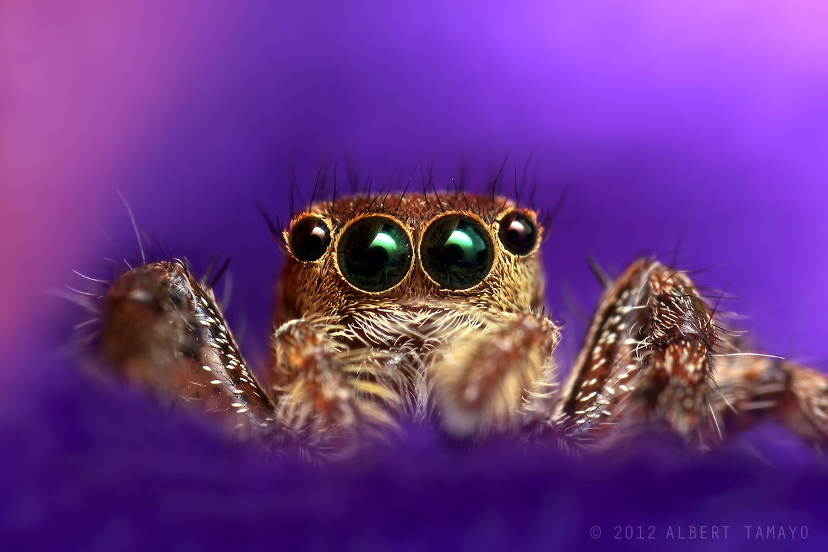 Jumping Spider (Common Housefly Catcher)