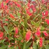 Bolivian Sunset Gloxinia