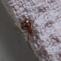 Dark comb-footed spiderling