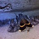 Yellow-banded Underwing